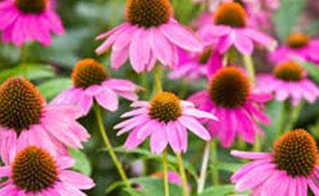 La echinacea: el medicamento natural más prescrito