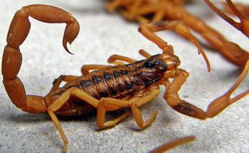 Alcances medicinales del Escorpión Amarillo